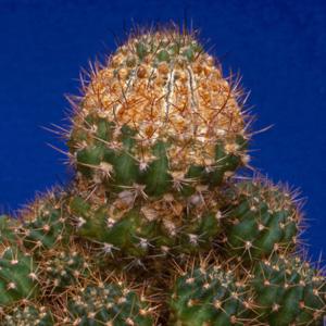 western flower thrips